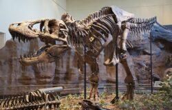 العثور على أكبر تيرانوصور فى كندا