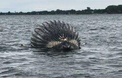 موت الحوت الأحدب الضال في مونتريال