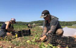 الخوف من الجفاف يتملك المزارعين فى جزيرة الأمير إدوارد