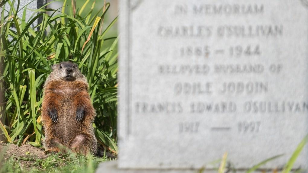 جرذان الأرض ينبشون القبور فى مونتريال