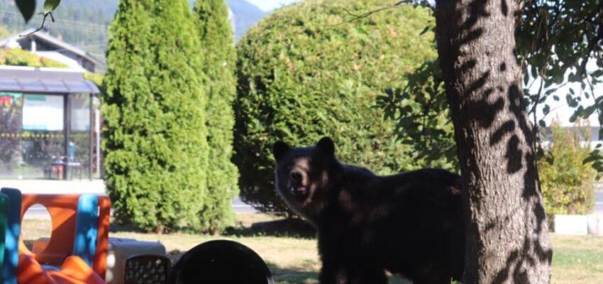 دب فى كولمبيا البريطانية يسترخى ويأكل الفاكهة من الأشجار بمنطقة سكنية