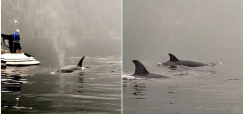 مشاهدة الحيتان فى كولومبيا البريطانية و حوت يعرض ما يأكله