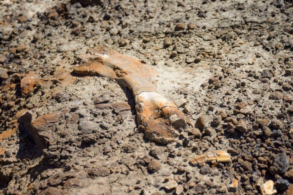 إكتشاف ديناصور من قبل طفل فى سن الـ 12 بجنوب ألبرتا