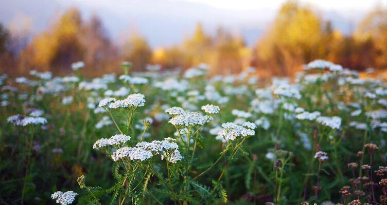 تعرف على استخدام السكان الأصليين فى كندا للنباتات و الزراعة