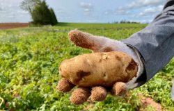 جزيرة الأمير إدوارد تخسر تاج وصدارة إنتاج البطاطس فى كندا