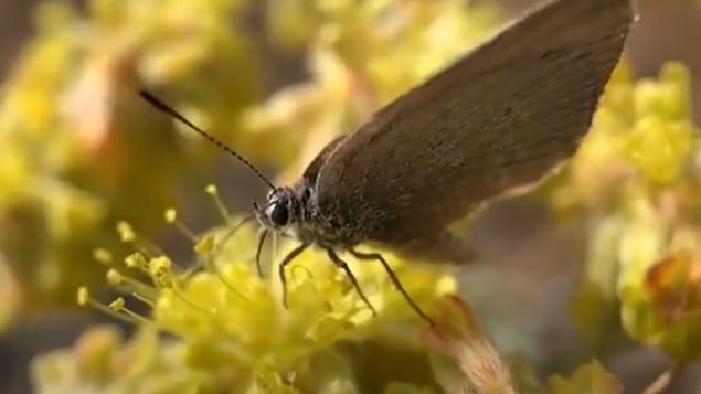 الحكومة وحديقة الحيوانات تعمل على حماية الفراشات المهددة بالانقراض