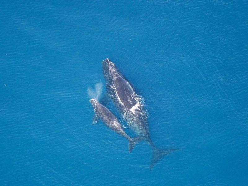 يمكن للبيانات من الفضاء أن تساعد فى حماية أنواع الحيتان المهددة بالانقراض